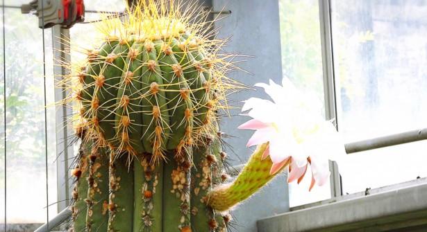 西山公園 サボテンの花(夏)